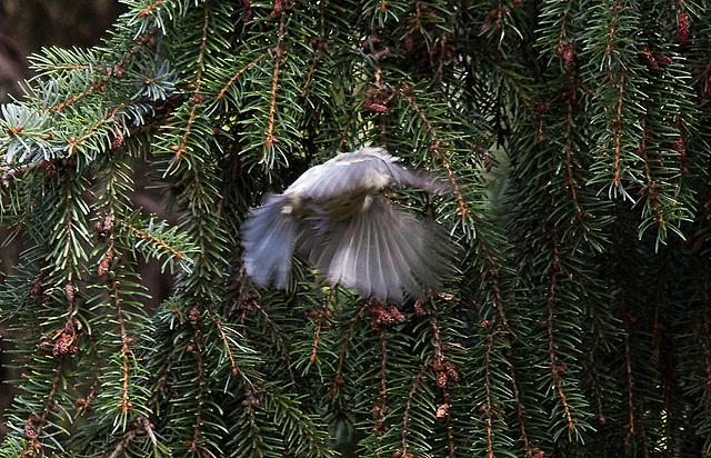 20110725 6314RTw Blaumeise (Cyanistes caeruleus)