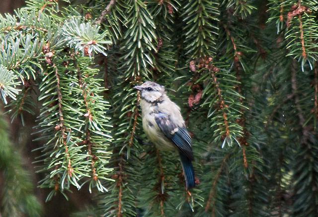 20110725 6303RTw Blaumeise (Cyanistes caeruleus)
