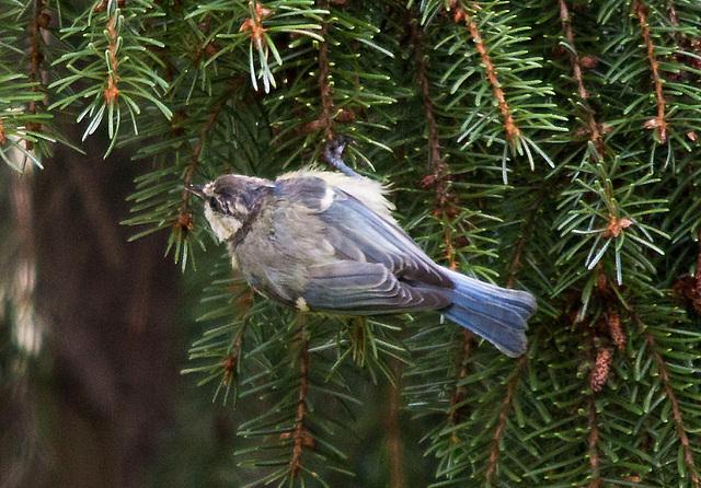 20110725 6298RTw Blaumeise (Cyanistes caeruleus)