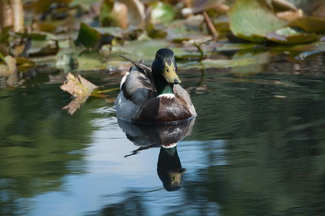 duck and reflection