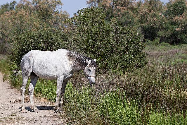20110530 4253RTfw Camargue-Pferd [Tour Carbonnière]