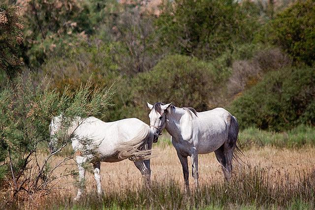 20110530 4243RTfw Camargue-Pferd [Tour Carbonnière]