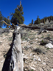 Ancient Bristlecone Pine Forest (0215)