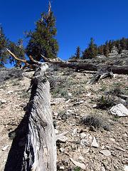 Ancient Bristlecone Pine Forest (0215)