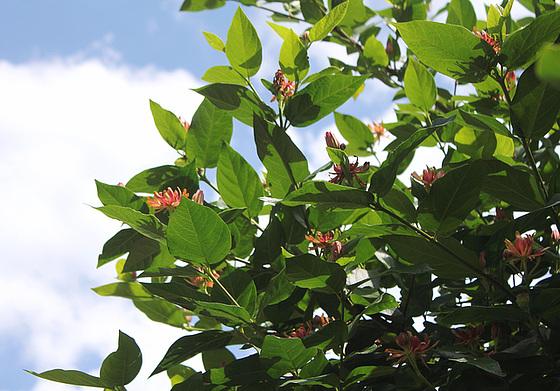 Calycanthus floridus - arbre aux anémones 10833857.b3aed9a6.560