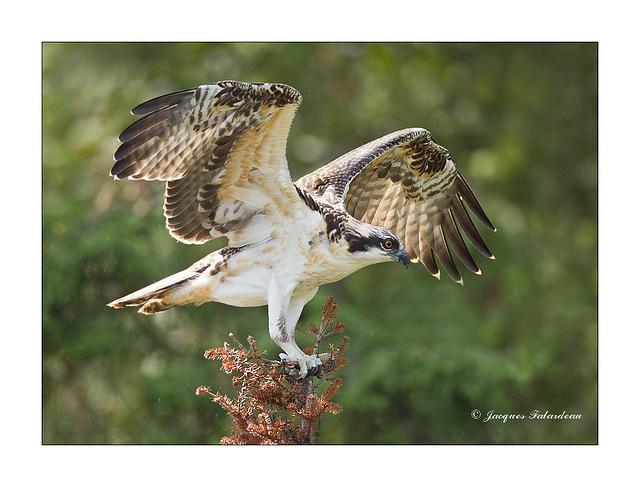 Balbuzard pêcheur / Osprey / Pandion haliaetus