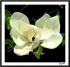 Magnolia for ever ...