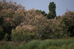 20110530 4095RAfw Sumpf, Tamariske [Tour Carbonnière]
