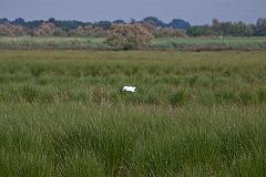20110530 4092RAw Sumpf, Reiher [Tour Carbonnière]