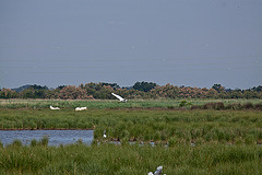 20110530 4091RAfw Sumpf, Reiher, Camargue-Pferd [TourCarbonnière]