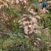 20110530 4087RAfw Tamariske [Tour Carbonnière]
