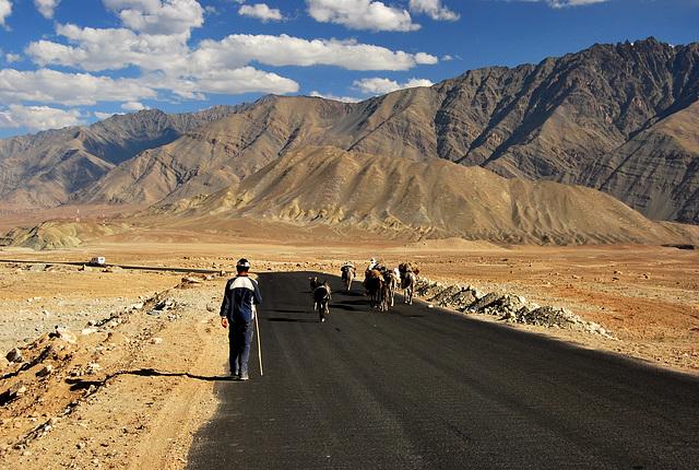 Ladakh. Pony caravan