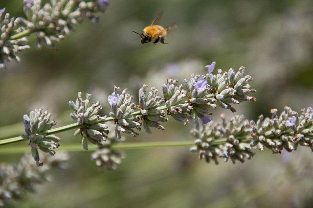 bee flying amonst the lavender