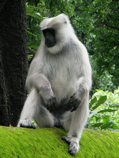 Thieving langur monkey (wild...not in zoo)