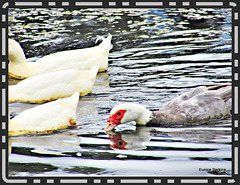 Ducks and Drake