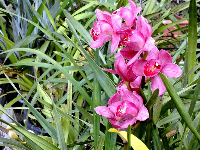 Orchidaceae Brasilienses.