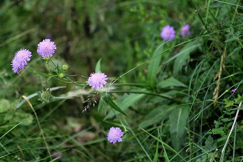 Knautia arvernensis