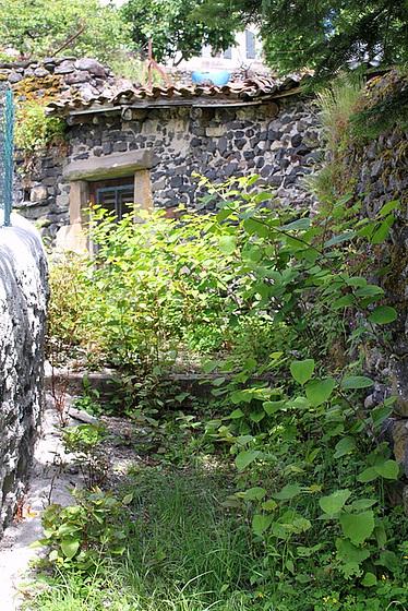 Reynoutria japonica = Fallopia - renouée du Japon 10804645.cbbdac02.560