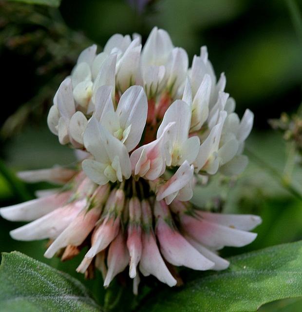 Trèfle rampant- Trifolium repens