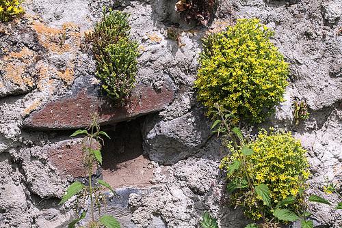 Sedum acre sur un Mur