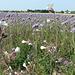 Wildblumen bei Aschères-le-Marché