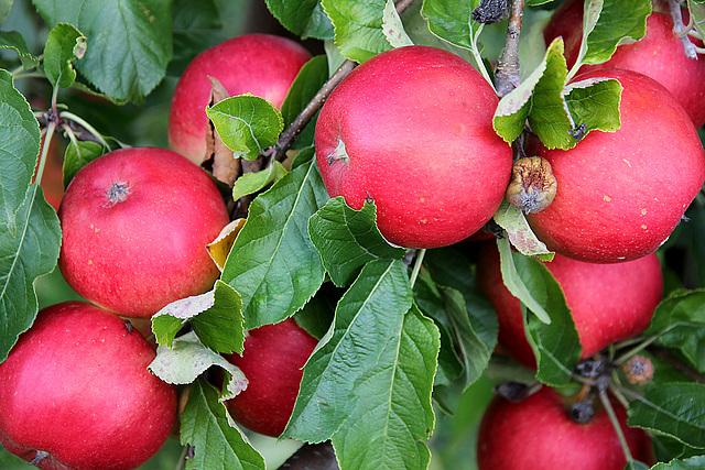 Eva´s Apfel -