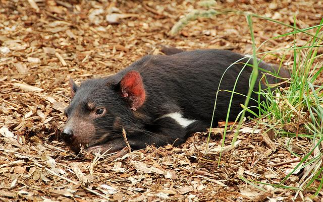 Tasmanian Devil (endangered)