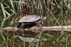 20110609 5620RAfaw Sumpfschildkröte [Mas-Thibert]