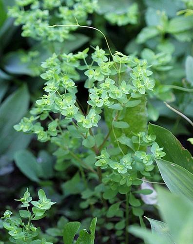 Euphorbia peplus-Euphorbe des jardins