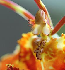 Psychopsis papilio x sanderae  'Butterfly'