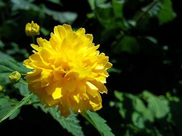 Ranunkel- oder Goldröschenblüte