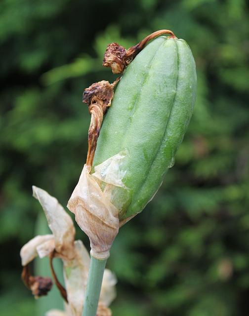 Capsule d'iris