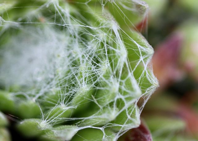 Sempervivum arachnoïdeum