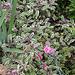 Salvia officinalis-Sauge officinale tricolore