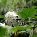 Weissfleck Widderchen auf einer Hortensie