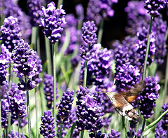 Flying through lavender