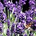 Flying through lavender