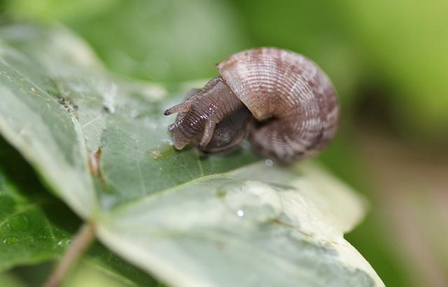 Pomatias elegans, Elégante striée
