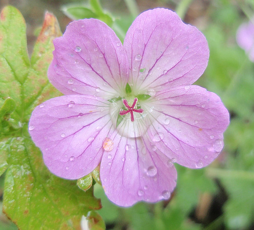géranium riversleaianum 'mavis simpson' P7142431-2