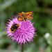 Hummel + kleiner Schmetterling + kleiner Käfer