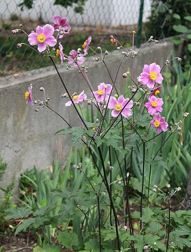 Anémone du Japon (2)