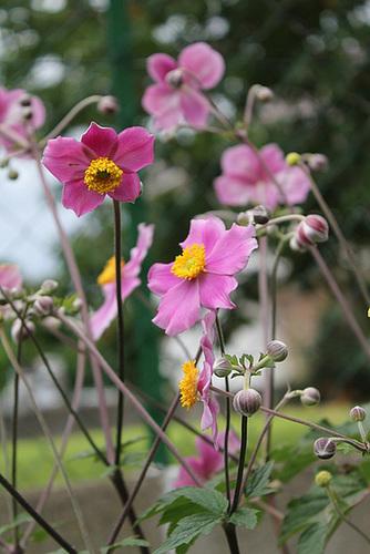 Anémone du Japon (3)