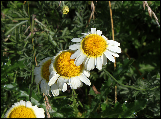 Anthemis tinctoria 'Sauce hollandaise '