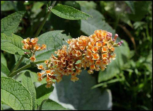 Buddleja x weyeriana 'Sungold', Buddleia jaune