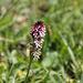 Brand-Knabenkraut - Orchidee