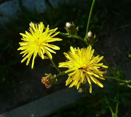 Zwei gelbe Blüten
