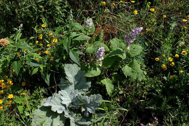 Salvia sclarea (2)