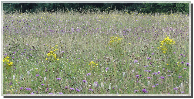 Prairie naturelle avant la fauche .....