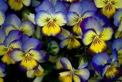 Svenska blommor