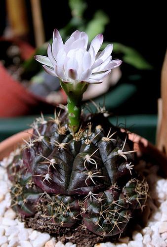 Gymnocalycium anisitsii ssp damsii